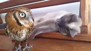 Video: Katze kuschelt mit Eule
