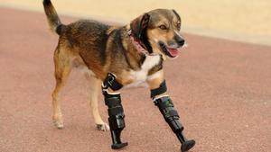 Beinprothese beim Hund